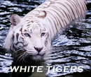 WHITE TIGERS - Education photo book